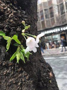 ジャパンバーテンダースクール・カフェスクールから歩いて30秒で桜の名所があります^_^